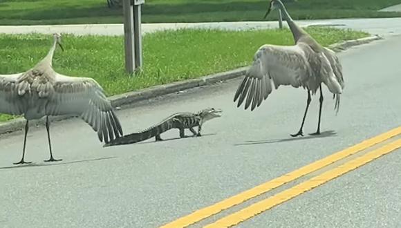 No  se sabe si las grullas ayudaron o perjudicaron al cocodrilo bebé al seguirlo mientras cruzaba la calle  (Foto: Facebook)