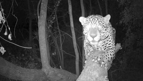 La cámara trampa instalada en el interior del parque El Impenetrable permite captar un extraordinario primer plano de Qaramta. Crédito: Fundación Rewilding Argentina.