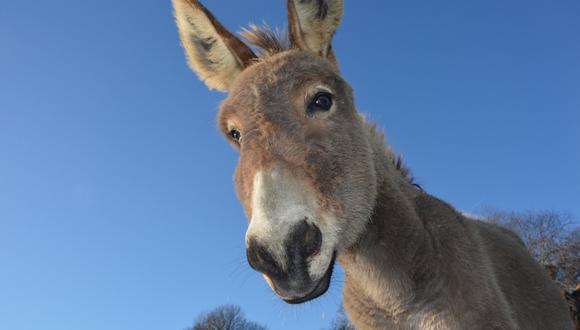 Un burro tomó por asalto a las redes sociales con sus peculiares dotes para el canto. (Foto: Pixabay/Referencial)