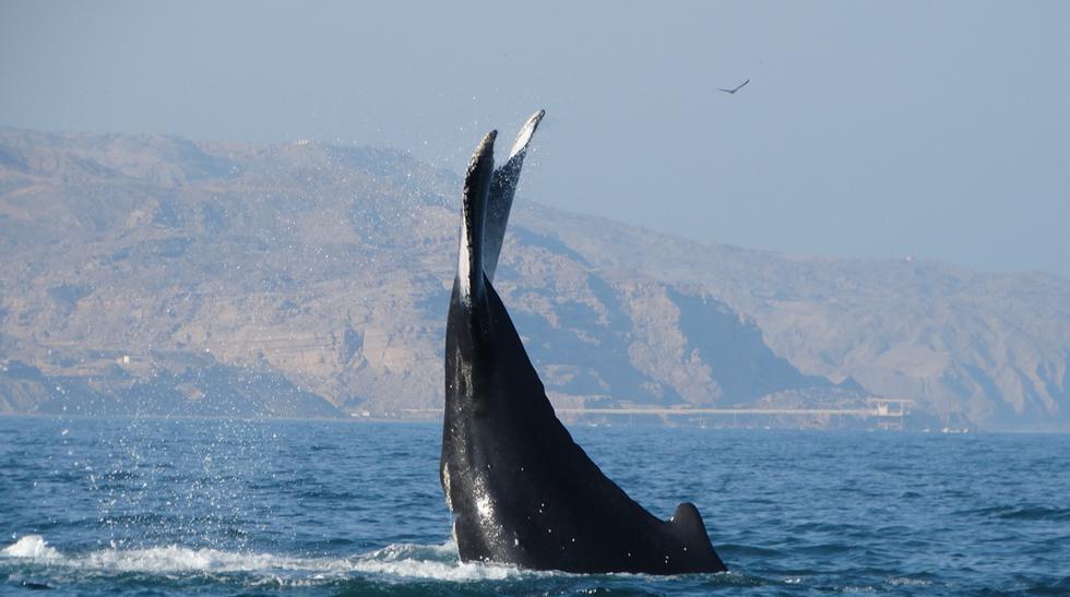 ¿Dónde y cuándo ver ballenas jorobadas en el Perú? - 1