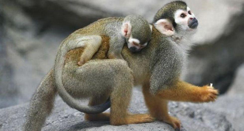 """La evolución explica que el hombre no """"viene del mono"""""""