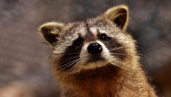 Un veterinario tuvo que intervenir en el rescate del mapache. (Foto: Referencial - Pixabay)