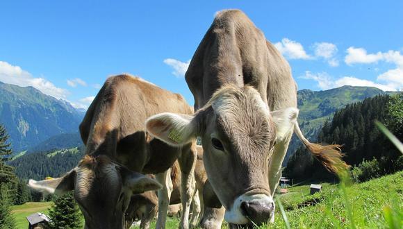 La enfermedad de las vacas locas puede poner en riesgo la salud alimentaria. (Pixabay)
