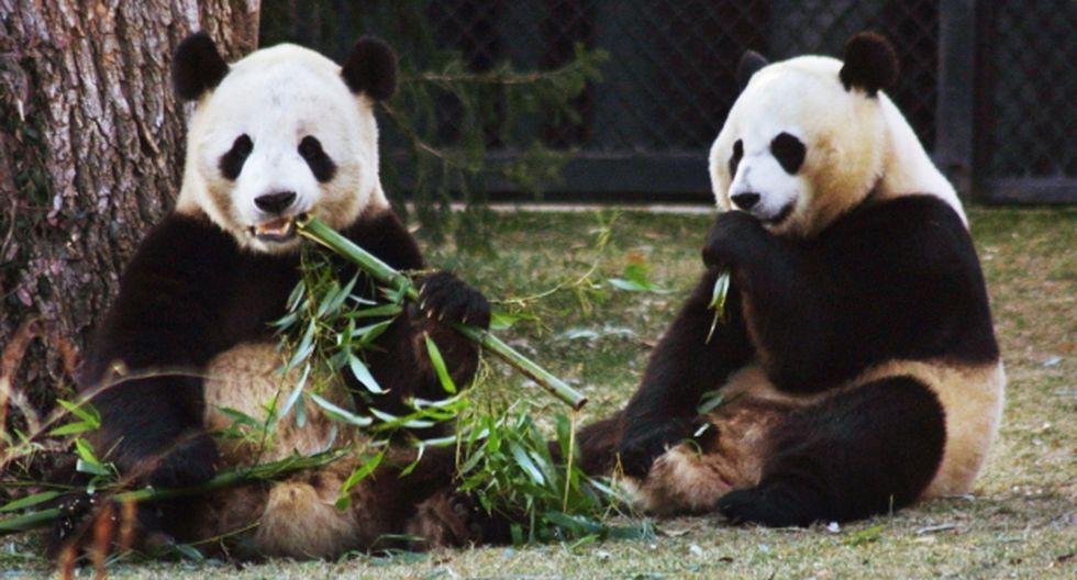 Osos pandas chinos se postulan como sucesores del pulpo Paul