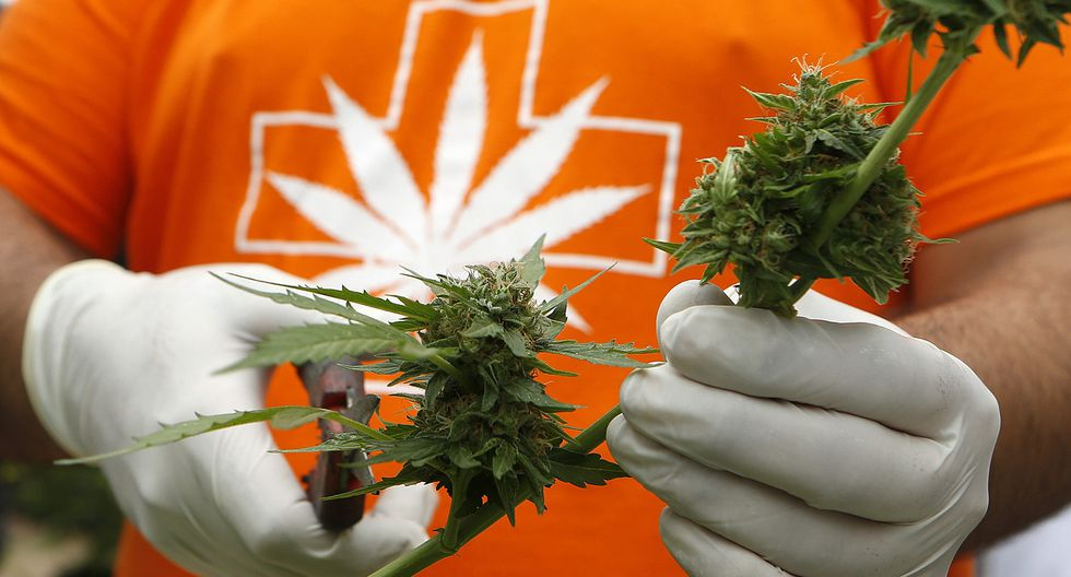 Chile realizó primera cosecha legal de marihuana de la región - 6