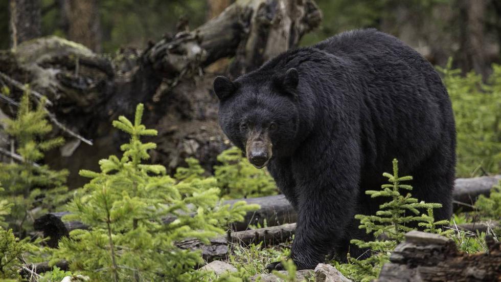 """Dos osos negros se han hecho viral este fin de semana luego de que uno de ellos """"acariciara"""" la cabeza de una mujer. (Foto: Pixabay / referencial)"""
