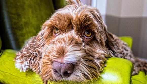 Si tu perro lleva más de un día con los ojos rojos, no dejes pasar esa señal.  (Foto: Pixabay)