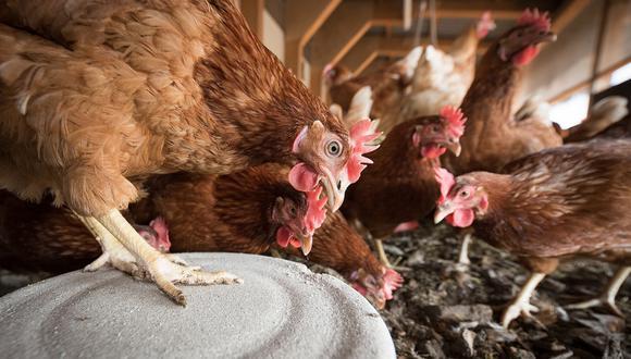 Las autoridades de Holanda sacrificaron a unos 190.000 gallinas y pollos debido a la gripe aviar. (Foto referencial: Pixabay).
