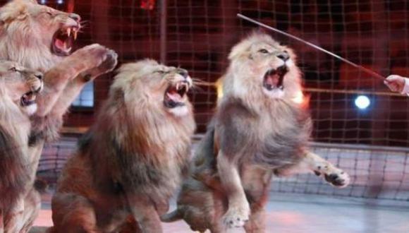 León que atacó a profesora fue rescatado de circo en Cusco