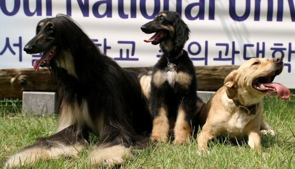 Foto 14 | El perro Snuppy. En 2005, científicos de la Universidad nacional de Seúl, en Corea del Sur, clonaron por primera vez a un perro. La tarea fue particularmente difícil, se necesitó de 1.095 embriones de perro en 123 hembras para que se lograran a penas tres embarazos, solo Snuppy sobrevivió, pero valió la pena para el objetivo que se persiguió: utilizar a los clones para tratar enfermedades humanas. (Foto: Internet)