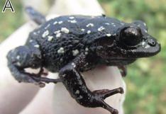 Científicos encuentran nueva especie de rana para la ciencia en terreno donde opera mina de oro