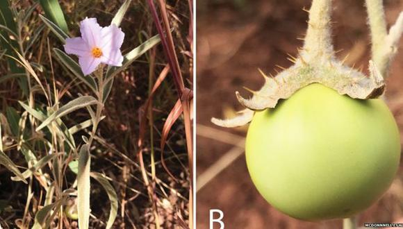 """Para los científicos, la planta es un modelo de la diversidad de la vida y de la """"fluidez sexual presente en el Reino Vegetal"""". (Foto: McDonnell et Al)"""