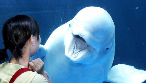 La ballena beluga es muy amistosa y es capaz de imitar sonidos. (Foto: AFP)