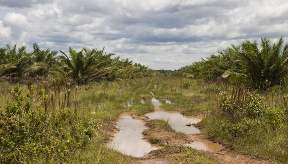 Cultivo de palma en Agrícola El Encanto, Sendero interno. Foto: Juan Carlos Contreras Medina.