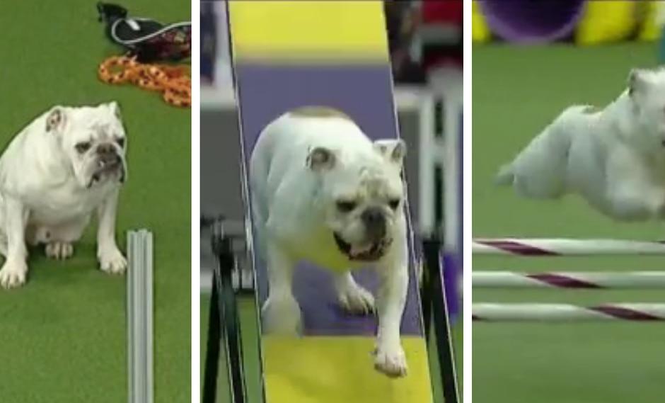 Bulldog destrozó pista de obstáculos con su increíble velocidad. (Foto: 9gag en Facebook)