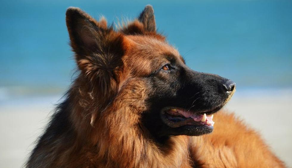 El can actuó de forma rápida para ayudar a la joven. (Pixabay / Free-Photos)