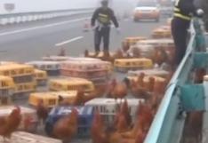 Dos mil gallinas bloquearon una autopista en China