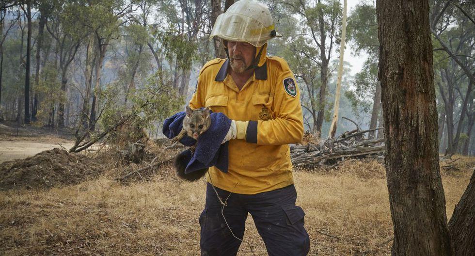 En la imagen un bombero voluntario del Servicio Rural de Bomberos Pat Smith rescatando una zarigüeya con quemaduras por incendios en las afueras de la ciudad de Tumbarumba, en Nueva Gales del Sur.  (AFP)