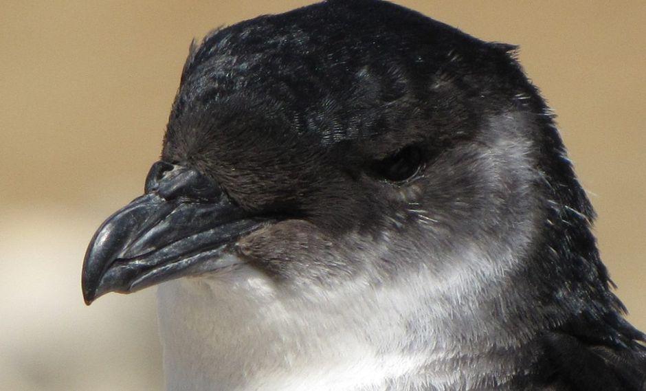 Un yunco. La contaminación lumínica afecta a las aves marinas en todo el mundo y países desarrollados han tomados medidas para disminuir los impactos. Foto: Ecología y Diversidad de Aves Marinas.