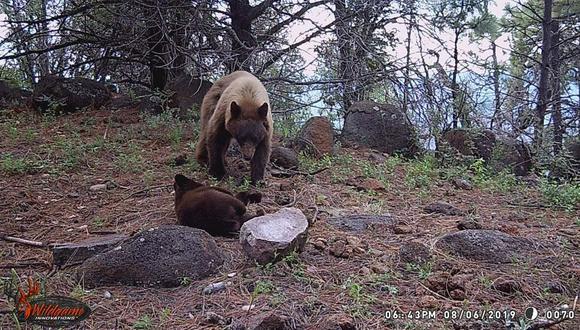 El único úrsido que es posible encontrar en México es el oso negro americano. Foto: APFF Campo Verde/CONANP