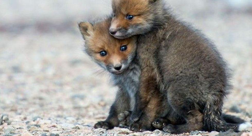 Así lucen las crías de zorros salvajes cuando son cachorros.| Foto: Referencial/Pexels