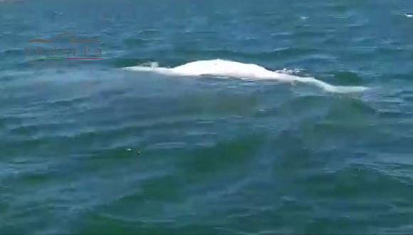 Avistan en México una cría albina de ballena gris [VIDEO]