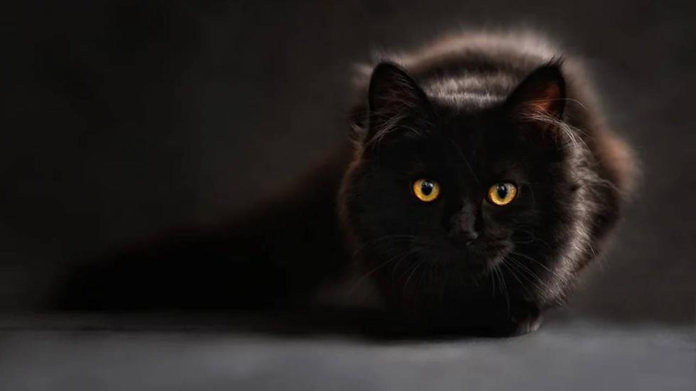 Los gatos se comunican mediante vocalizaciones como maullidos, aullidos, ronroneos y gemidos, además de ciertas poses y movimientos. (Foto: Pixabay / referencial)
