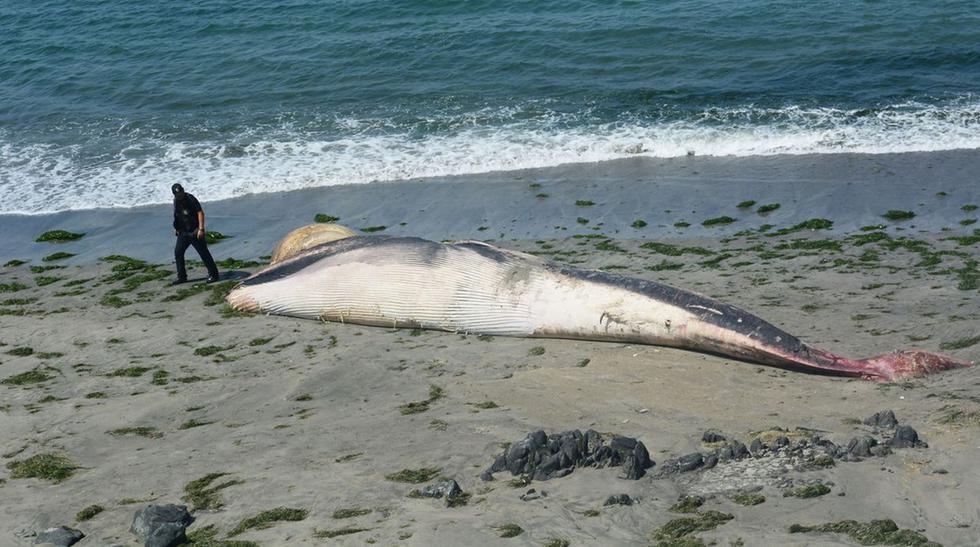 El entierro de una ballena jorobada en Nuevo Chimbote [FOTOS] - 7