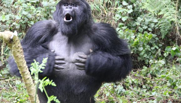 Un gorila golpeándose el pecho en el Volcanoes National Park, Ruanda. (Foto: Dian Fossey Gorilla Fund / AFP)