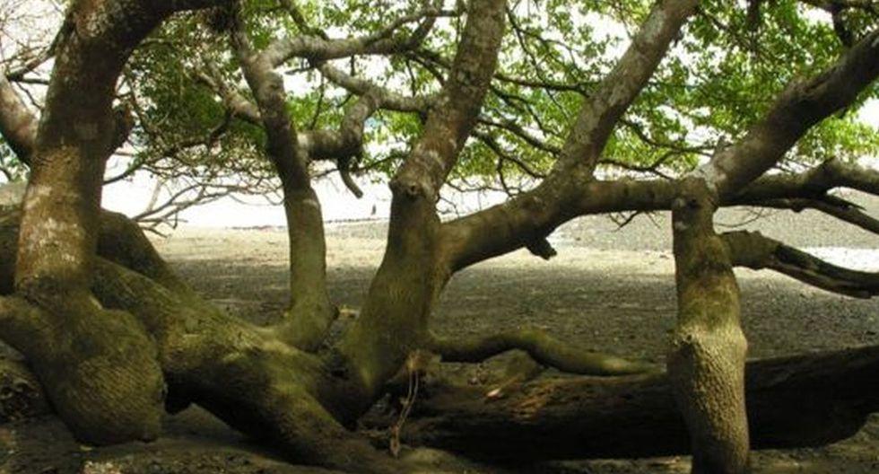 La interacción e ingestión de cualquier parte del tronco u hojas del 'árbol de la muerte' pueden ser letales (Foto: Wikipedia)
