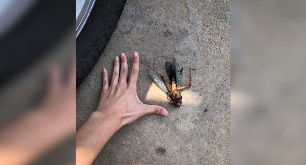 El insecto media aproximadamente 15 centímetros y era de colores muy llamativos.| Foto: @Stacyycastillo/Twitter