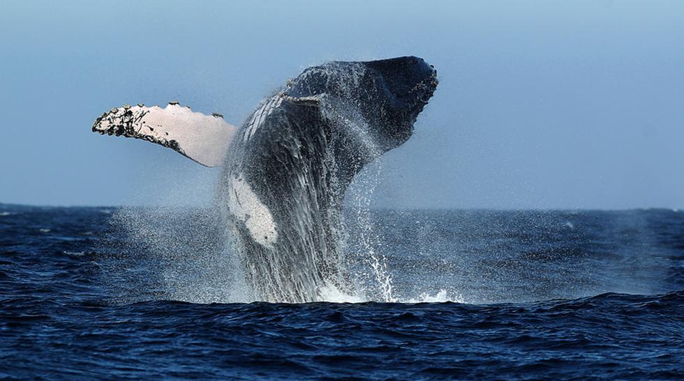 Empezó la temporada de avistamiento de ballenas jorobadas - 1