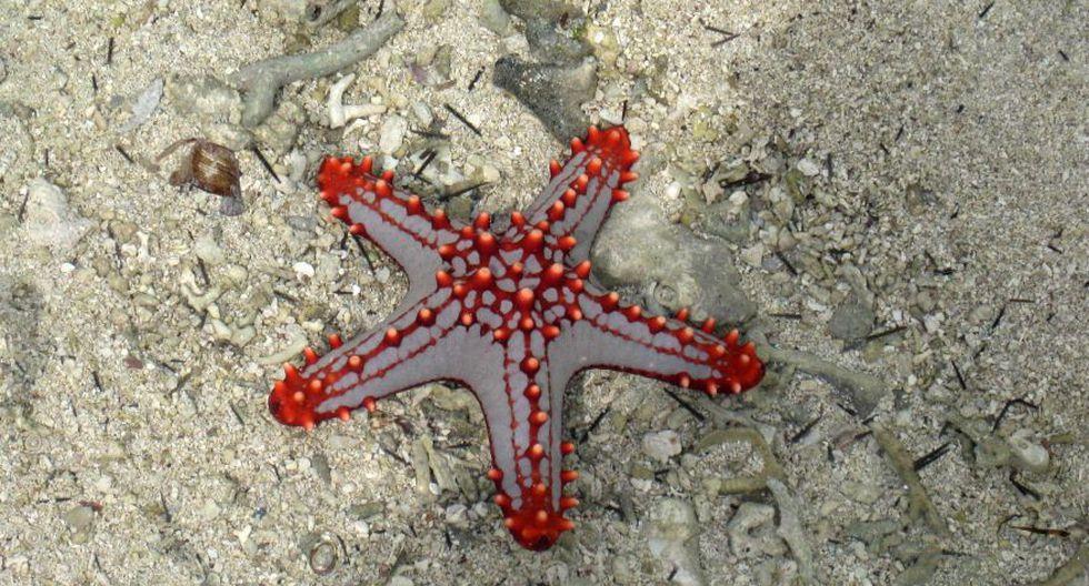 Retirar a las estrellas de mar del agua puede causarles la muerte. (Foto: Reuters)