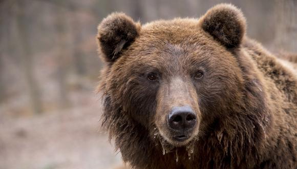 El ataque del oso fue brutal. El cuerpo de la chica presentaba heridas en la cabeza y el cuello. (Foto: Referencial - Pixabay)