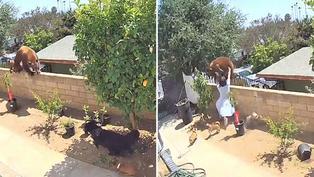 Video viral: Mujer defiende a sus mascotas de las garras de un oso