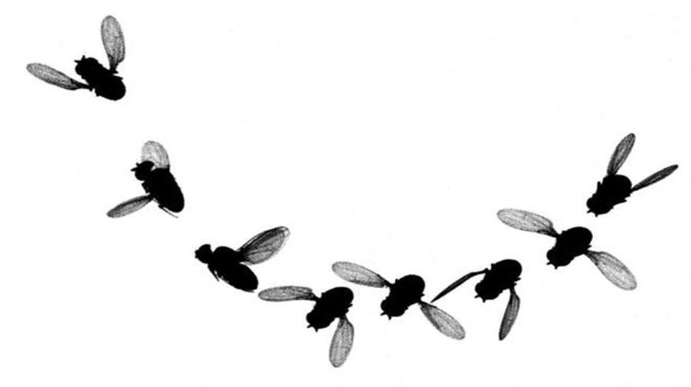 VIDEO: Las moscas vuelan como aviones de combate - 2