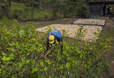 La hoja de coca amenaza los cultivos orgánicos en el Vraem | INFORME