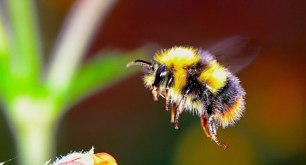 """Antes de ser descubierto en el abejorro, el llamado """"reconocimiento de objetos de modo cruzado"""" había sido demostrado previamente en solo unas pocas especies. (Foto: Pixabay/Referencial)"""