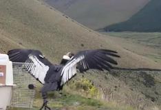 Crece preocupación por riesgo de extinción del cóndor andino en Ecuador