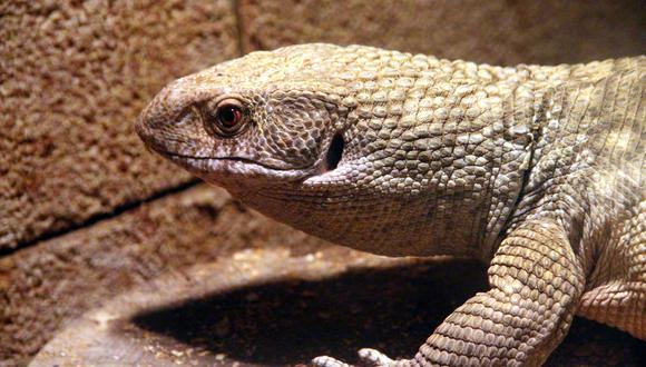 Un lagarto monitor o 'varanus' fue rescatado tras quedarse atorado en medio de dos edificios en una calle de Tailandia. ( Foto: Pixabay / referencial )
