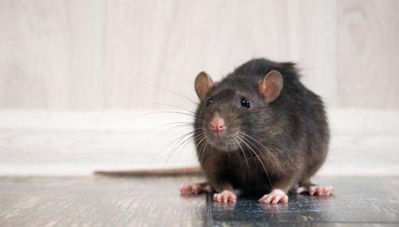 La pandemia está haciendo que las ratas cambien de comportamiento. (Foto: Getty)