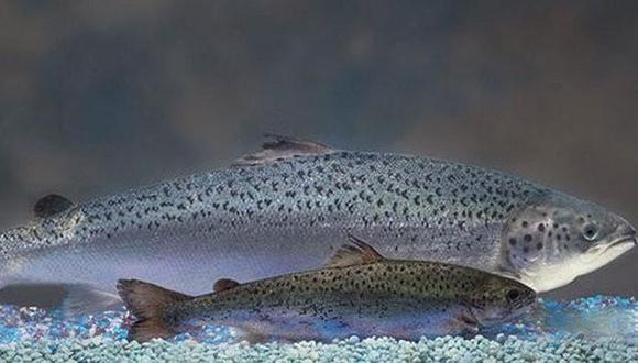 Este salmón genéticamente modificado es tan nutritivo como los criados en granjas y es seguro para el consumo, según la FDA. (Foto: FDA)