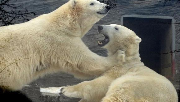 """""""En algunas estaciones no hay suficientes alimentos y los osos atacan a las osas con oseznos"""", señaló un investigador del Instituto Severtsov para Problemas de Ecología y Evolución de Moscú. (Foto: EFE)"""