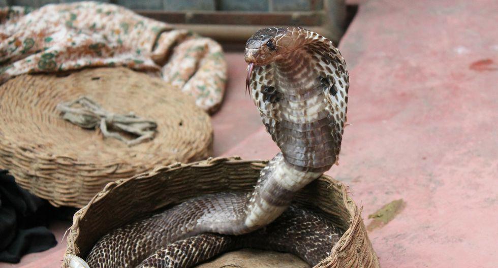 Cobra hace pasar un terrible susto a su cazador, quien intentó darle un beso. (Foto: Pixabay / referencial)