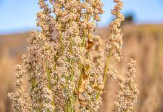 Perú se consolidó como el primer productor y exportador mundial de quinua durante el 2020