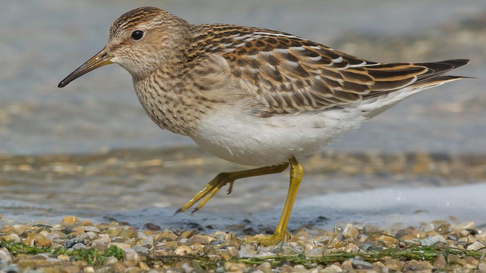 El ave que recorre hasta 13.000 km  solo para aparearse - 2