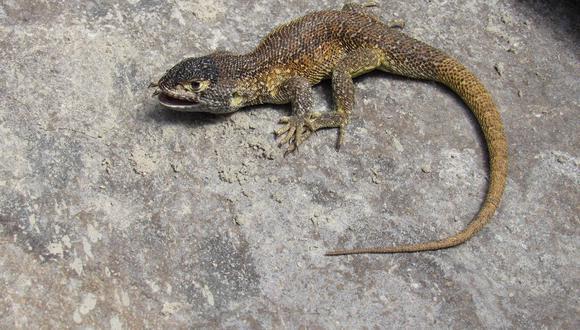 La lagartija Liolaemus warjantay se caracteriza por tener un color gris oscuro en el dorsal de la cabeza. (Foto: Sernanp)