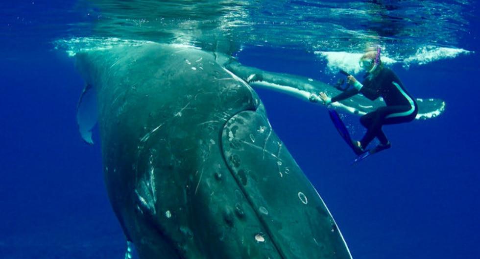Una ballena jorobada evitó que un tiburón tigre devorara a una bióloga marina en medio del océano. (Fotos: Caters Clips en YouTube)