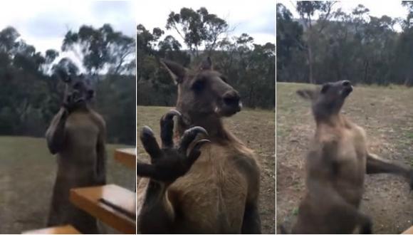 Canguro confundido lucha contra su propio reflejo [VIDEO]