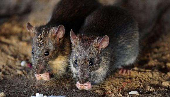 Las plagas de ratas aumentan el riesgo de transmisión de enfermedades a las personas y daños a la infraestructura urbana, e incluso pueden afectar la salud mental de los residentes de la zona. (Foto: Getty Images)